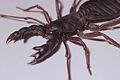 Whip Scorpion (9672117050).jpg