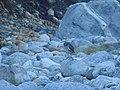 White-Bellied Heron DSCN1518 07.jpg