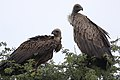 White-backed Vulture, Gyps africanus, at Kgalagadi Transfrontier Park, Northern Cape, South Africa. (44346497040).jpg