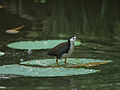 White-breasted Waterhen 5856.jpg