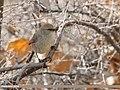 White-browed Tit Warbler (Leptopoecile sophiae) (48553256596).jpg