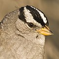 White-crowned Sparrow (Zonotrichia leucophrys; nuttalli) Morro Bay, CA 29j (2232004154).jpg