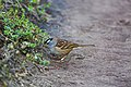 White-crowned sparrow (38472524061).jpg
