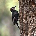 White-headed Woodpecker (9119947971).jpg