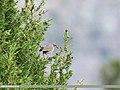 White-tailed Rubythroat (Luscinia pectoralis) (29034933496).jpg