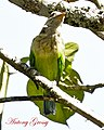 White Cheeked Barbet or Small Green Barbet (7101972723).jpg