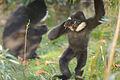 White Cheeked Gibbon (8154281013).jpg