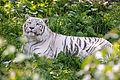 White Tiger Resting (19716044945).jpg