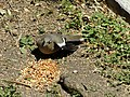 White Winged Dove Flexing Feathers 2.jpg
