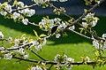 White cherry blossoms on day three.jpg