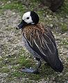 White faced whistling duck 2.jpg
