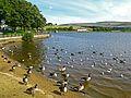Wildfowl at Hollingworth Lake (2885121953).jpg