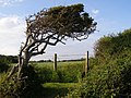Windblown hawthorn on the shore, Tanners Lane, New Forest - geograph.org.uk - 184722.jpg
