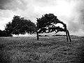 Windswept trees near Dieppe.jpg