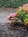 Winter flowers, camelia.jpg