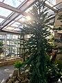 Wollemi Pine (Wollemia nobilis) (27549019716).jpg