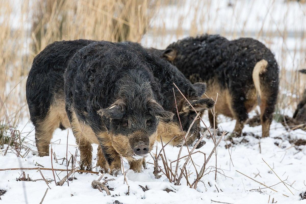 Cochons Laineux porc laineux — wikipédia