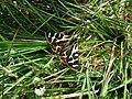 Wood Tiger Parasemia plantaginis - geograph.org.uk - 1135537.jpg