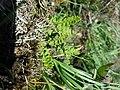 Woodsia alpina sl2.jpg