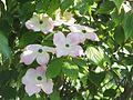 Wzwz tree 15c Cornus florida 'Cherokee Brave'.jpg