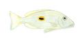 XRF-Lutjanus monostigma.png