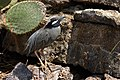 Yellow-crowned night heron North Seymour.JPG