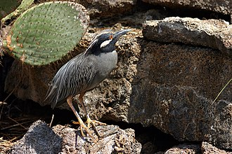 Yellow-crowned night heron - Adult N. v. ssp. pauper, North Seymour Island, Galapagos Islands