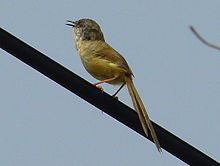 Yellow Bellied Prinia.JPG