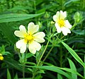 Yellow Cinquefoil on Holland River bank (14381906458).jpg