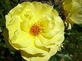 Yellow Rose (4426883732).jpg