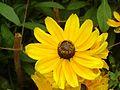 Yellow wonder.jpg