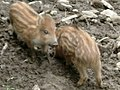 Young boars in Poland.jpg