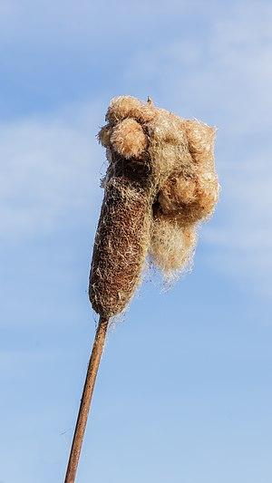 Seed Fluff bulrush Typha latifolia