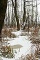 Zakole Wawerskie w Warszawie, las olchowy zimą 003.jpg