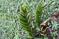Zamioculcas zamiifolia 7zz.jpg