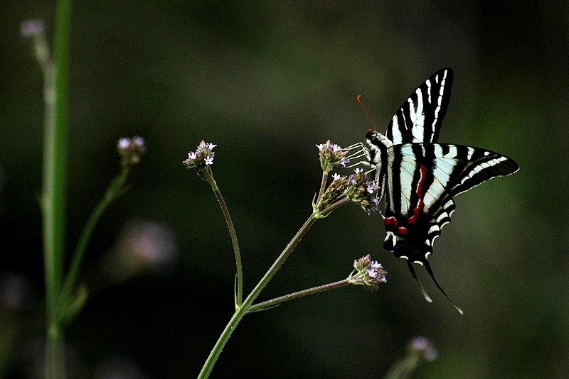 File:Zebra Swallowtail, Phinizy Swamp Nature Park.jpg