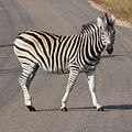 Zebra crossing road.jpg