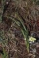 Zigadenus venenosus 5815.JPG