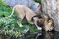 Zoo Wuppertal Loewe 1.jpg