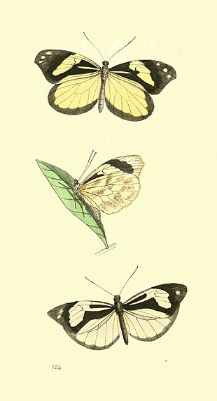 Zoological Illustrations Volume III Plate 124.jpg