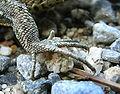 Zootoca vivipara male hind leg.jpg