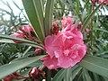 """""""Pink Nerium"""".JPG"""