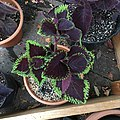 'Giant Exhibition Magma' coleus IMG 1173.jpg