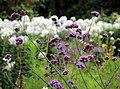'Verbena bonariensis' Clavering Essex England 1.jpg