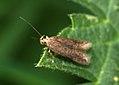 (0822) Scrobipalpa acuminatella (4578754656).jpg