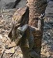 (1)Frill neck lizard.jpg