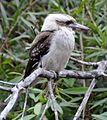 (1)Kookaburra 128.jpg