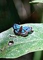 ? (Hesperiidae) (2872476736).jpg