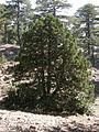 Δάσος Τροόδους 5.jpg