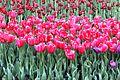 Виставка тюльпанів 13.JPG